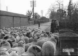 Sheep on edgar Street 1945