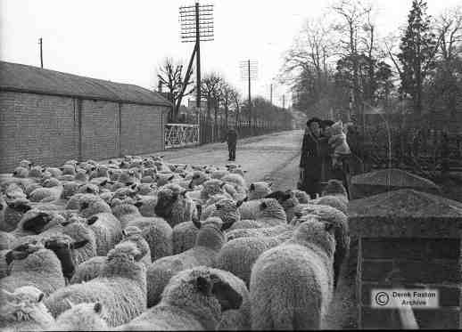 Sheep on edgar Street 1945