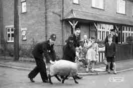 Runaway sheep
