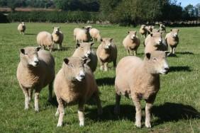 Ryeland Sheep
